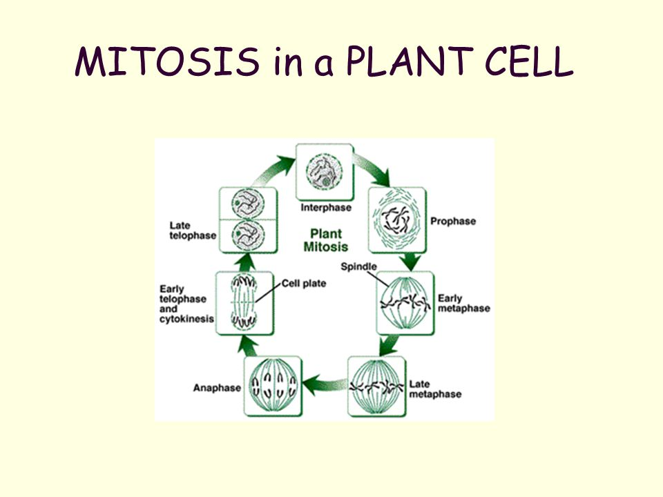 Mitosis and asexual reproduction ppt download 18 mitosis ccuart Image collections