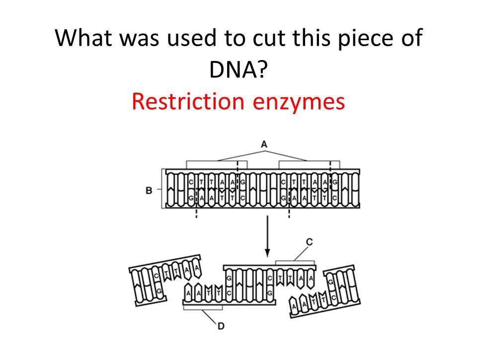 What was used to cut this piece of DNA Restriction enzymes