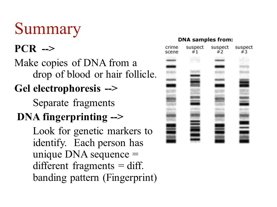 Summary PCR --> Make copies of DNA from a drop of blood or hair follicle. Gel electrophoresis -->