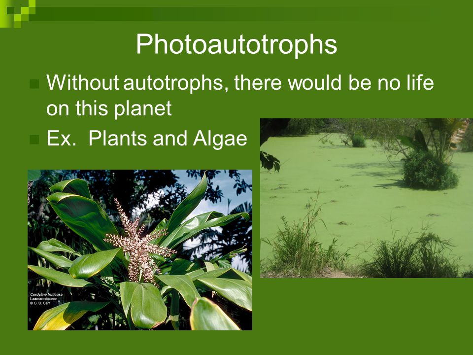 Photoautotrophs Without autotrophs, there would be no life on this planet Ex. Plants and Algae