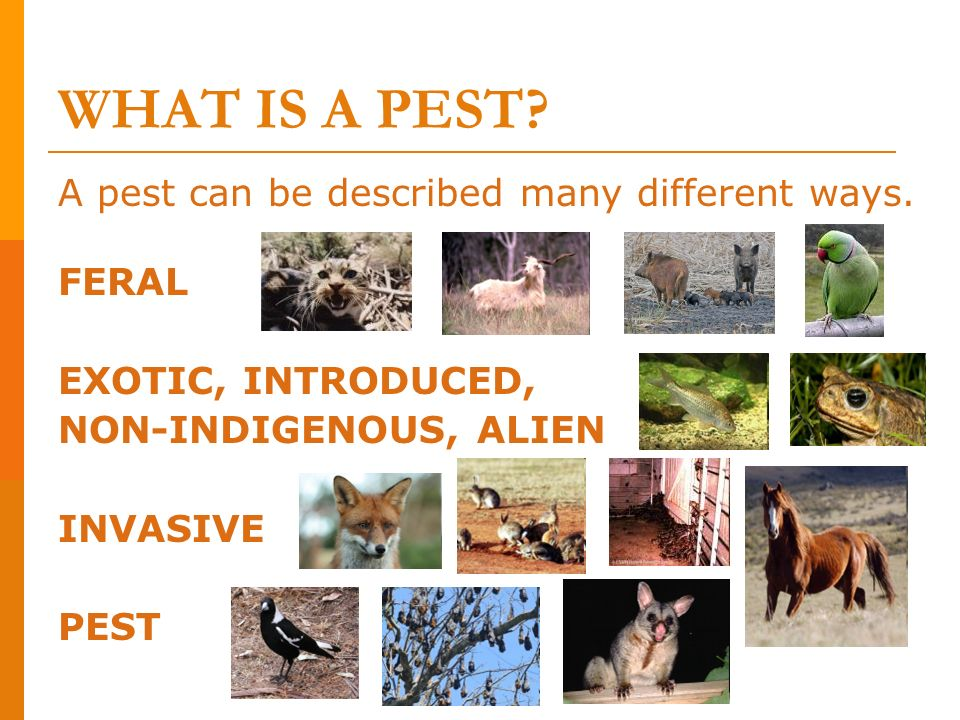 WHAT IS A PEST A pest can be described many different ways. FERAL