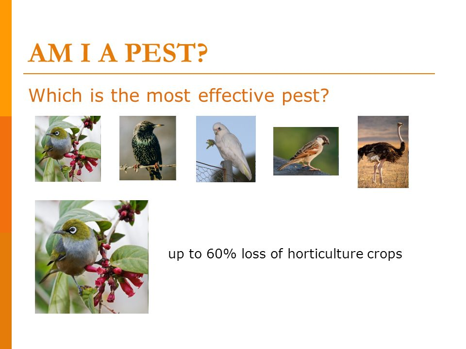 AM I A PEST Which is the most effective pest
