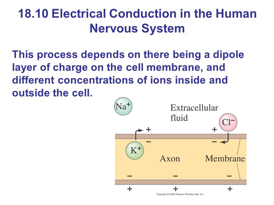 18.10 Electrical Conduction in the Human Nervous System