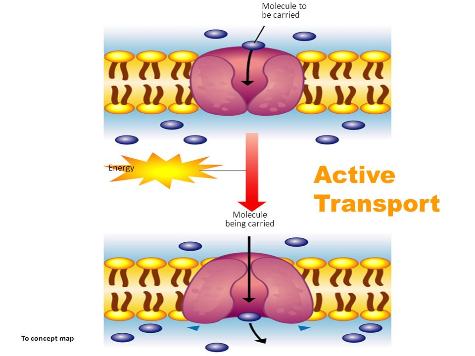 Active Transport Molecule to be carried Section 7-3 Energy Molecule