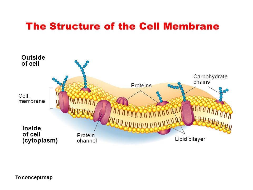 The Structure of the Cell Membrane