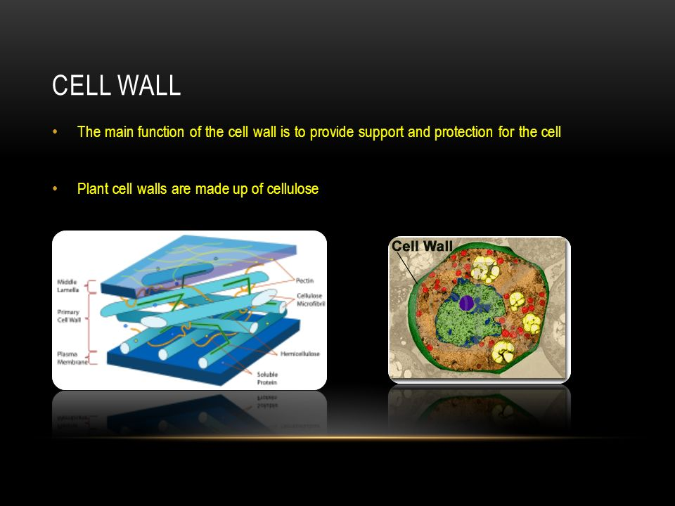 Cell Wall The main function of the cell wall is to provide support and protection for the cell.