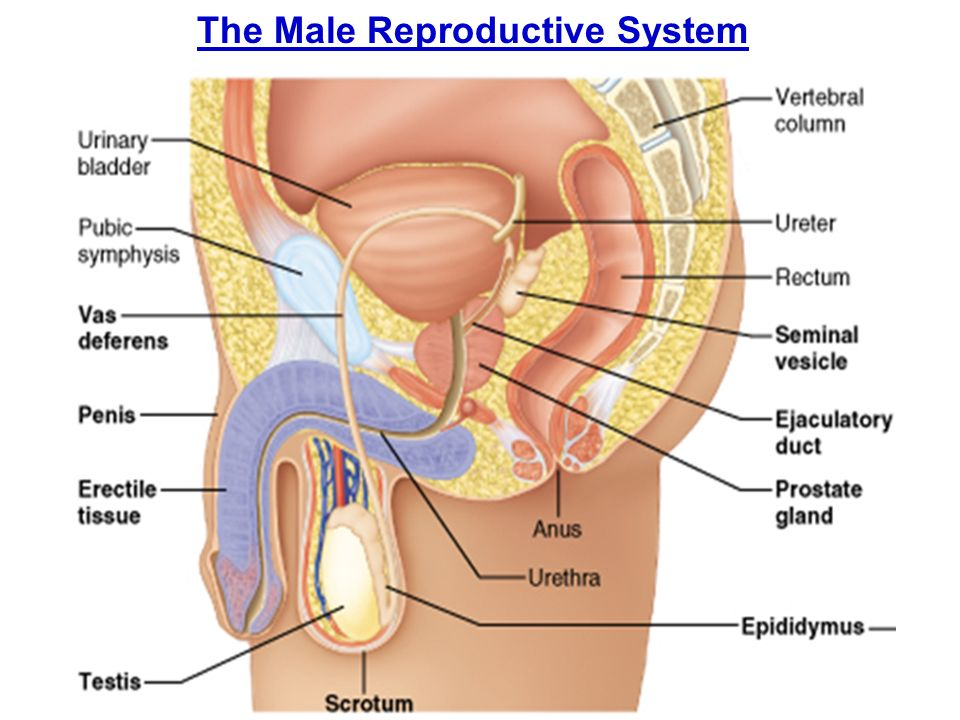 The Male Reproductive System Ppt Download
