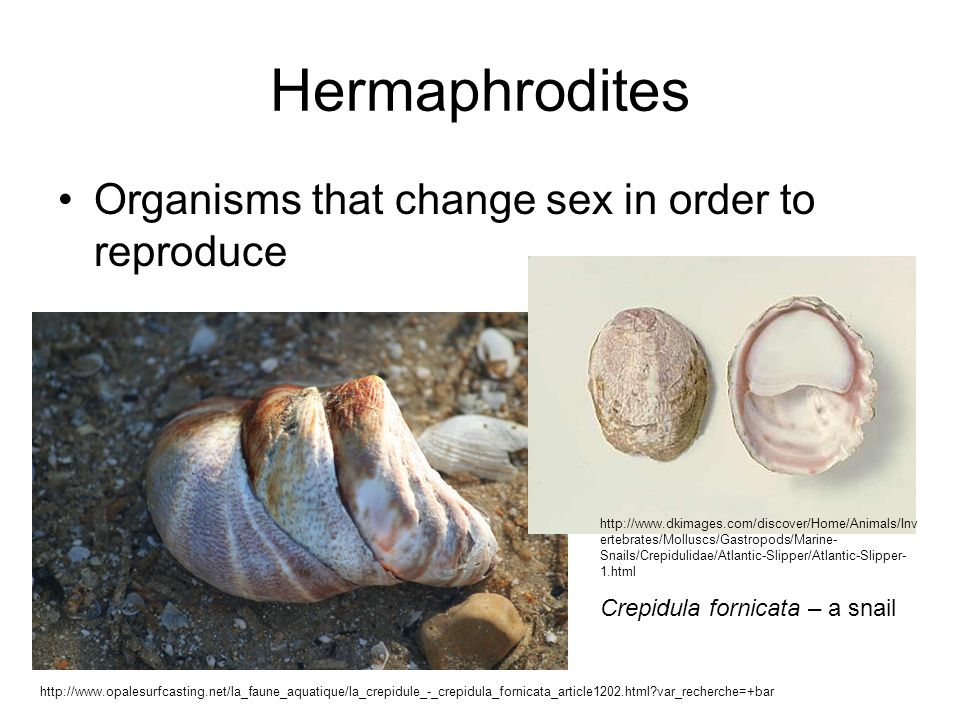 Gastropod asexual reproduction