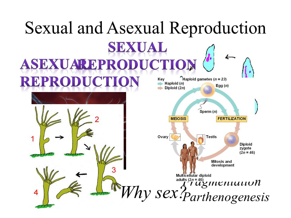 Mammals asexual reproduction