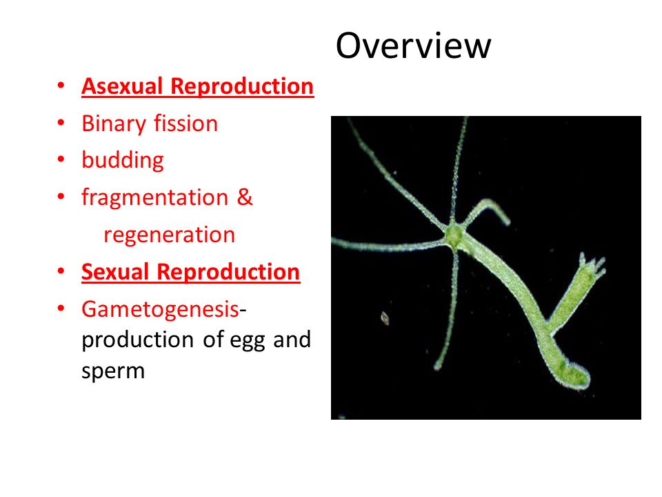 Asexual reproduction budding binary fission vs budding