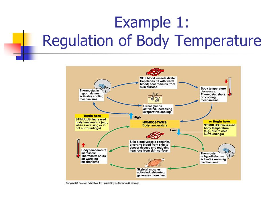 Examples of negative feedback systems ppt video online download 3 example 1 regulation of body temperature ccuart Images