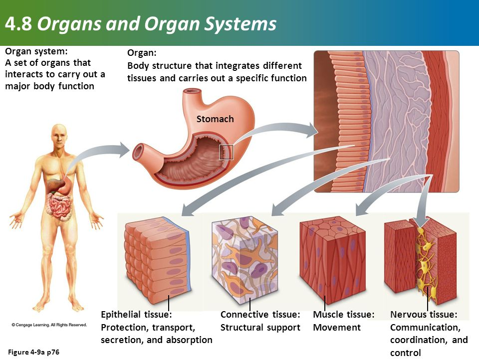 Tissues, Organs, and Organ Systems - ppt video online download
