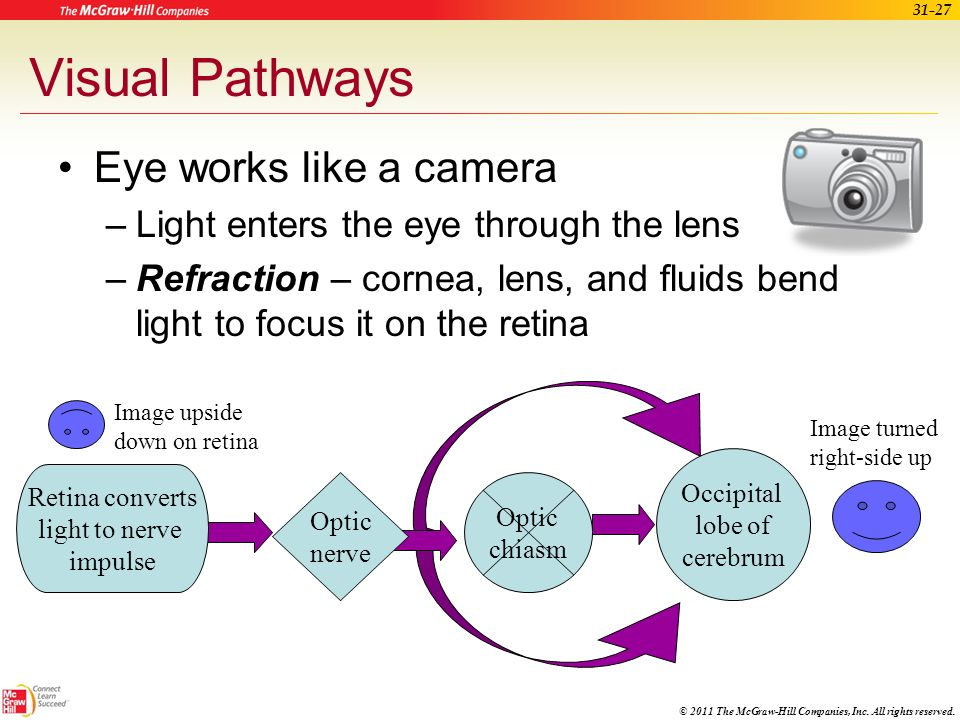 Visual Pathways Eye works like a camera