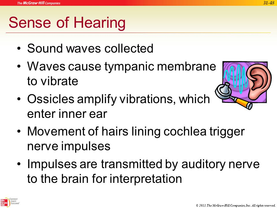 Sense of Hearing Sound waves collected