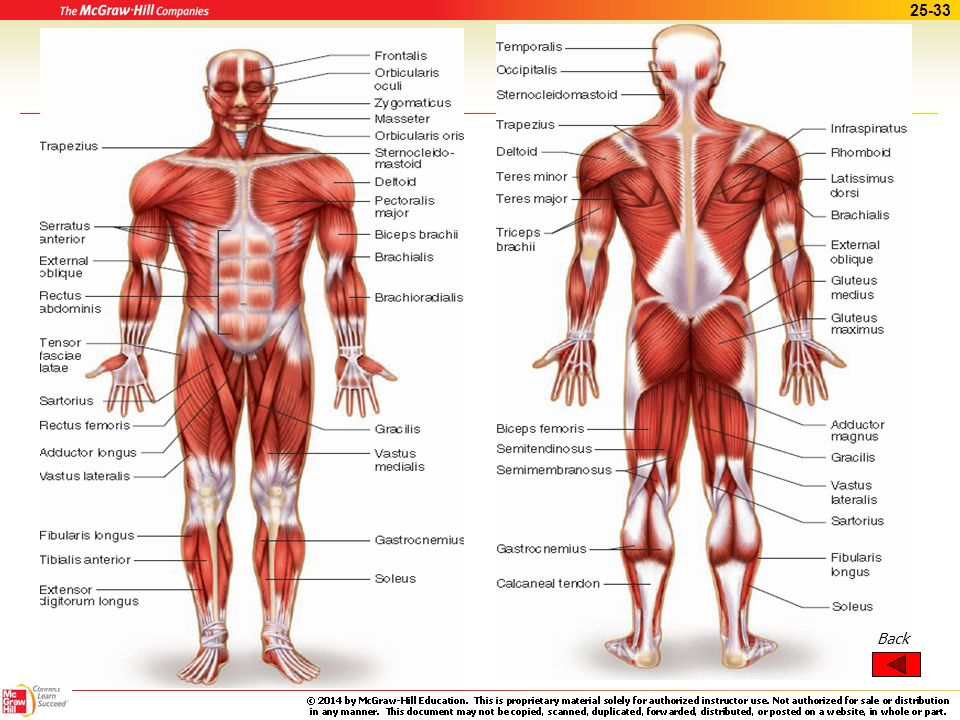 Major Skeletal Muscle Diagram - DIY Enthusiasts Wiring Diagrams •
