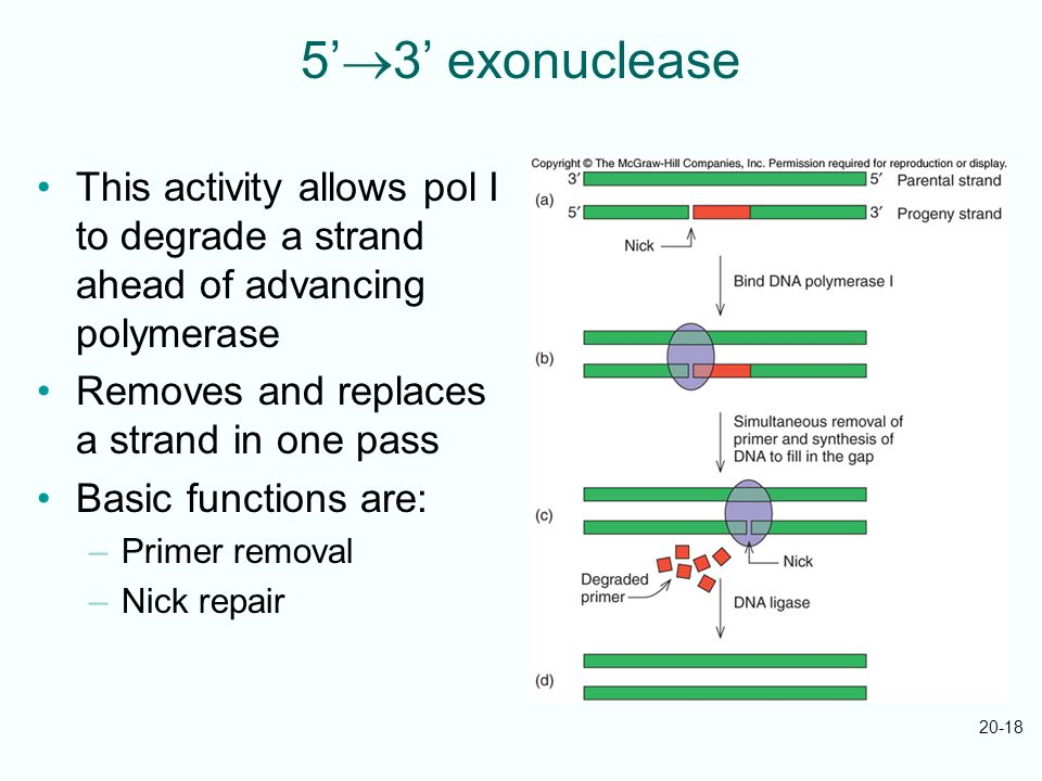 5'3' exonuclease This activity allows pol I to degrade a strand ahead of advancing polymerase. Removes and replaces a strand in one pass.