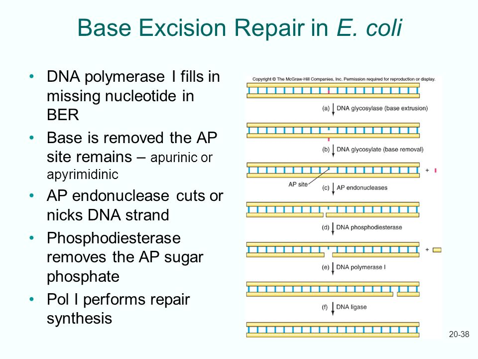 Base Excision Repair in E. coli
