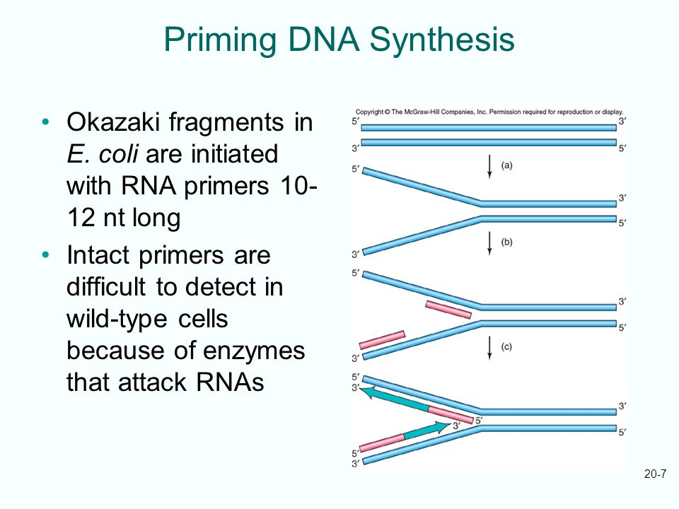 Priming DNA Synthesis Okazaki fragments in E. coli are initiated with RNA primers 10-12 nt long.