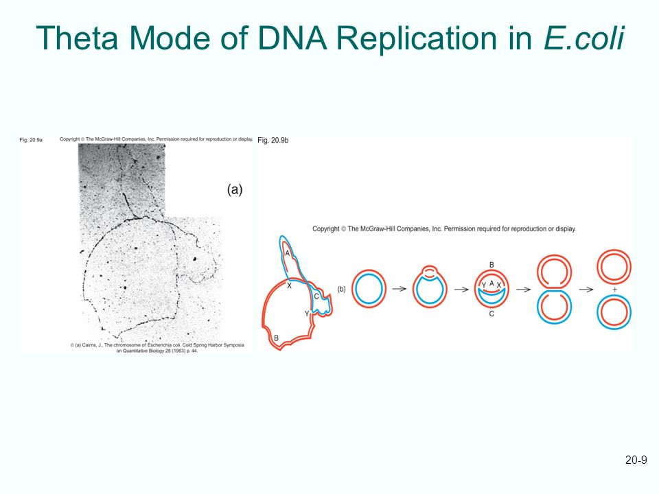 Theta Mode of DNA Replication in E.coli