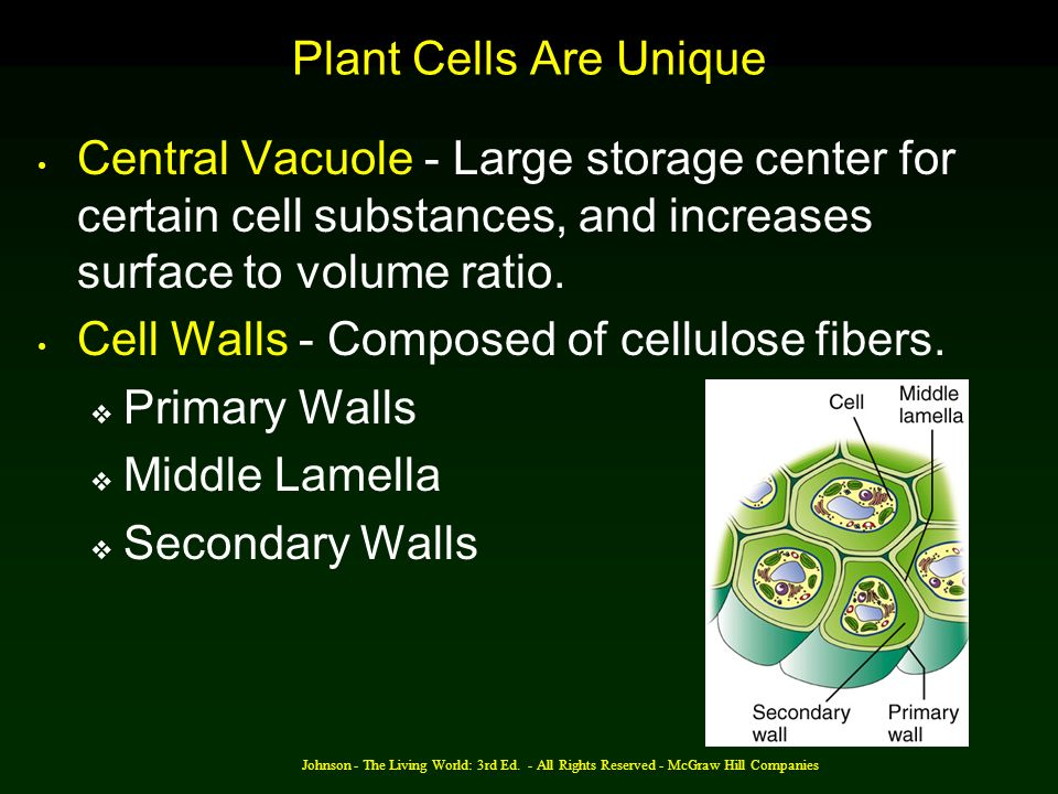 Cell Walls - Composed of cellulose fibers. Primary Walls