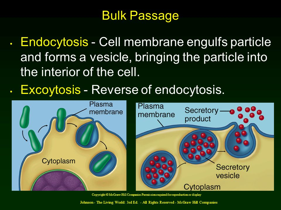Excoytosis - Reverse of endocytosis.