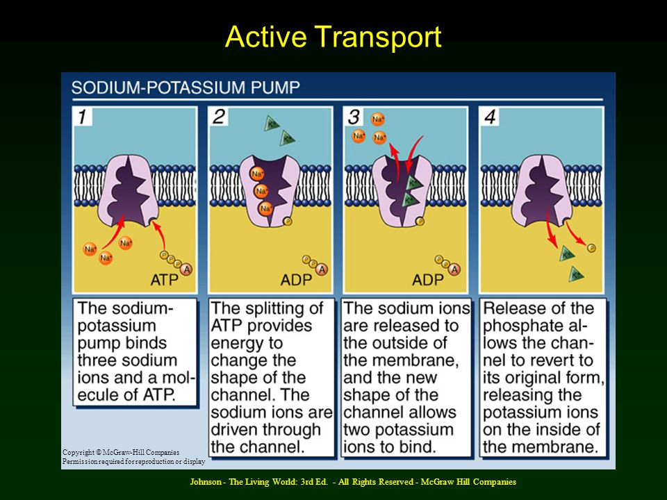 Active Transport Copyright © McGraw-Hill Companies. Permission required for reproduction or display.