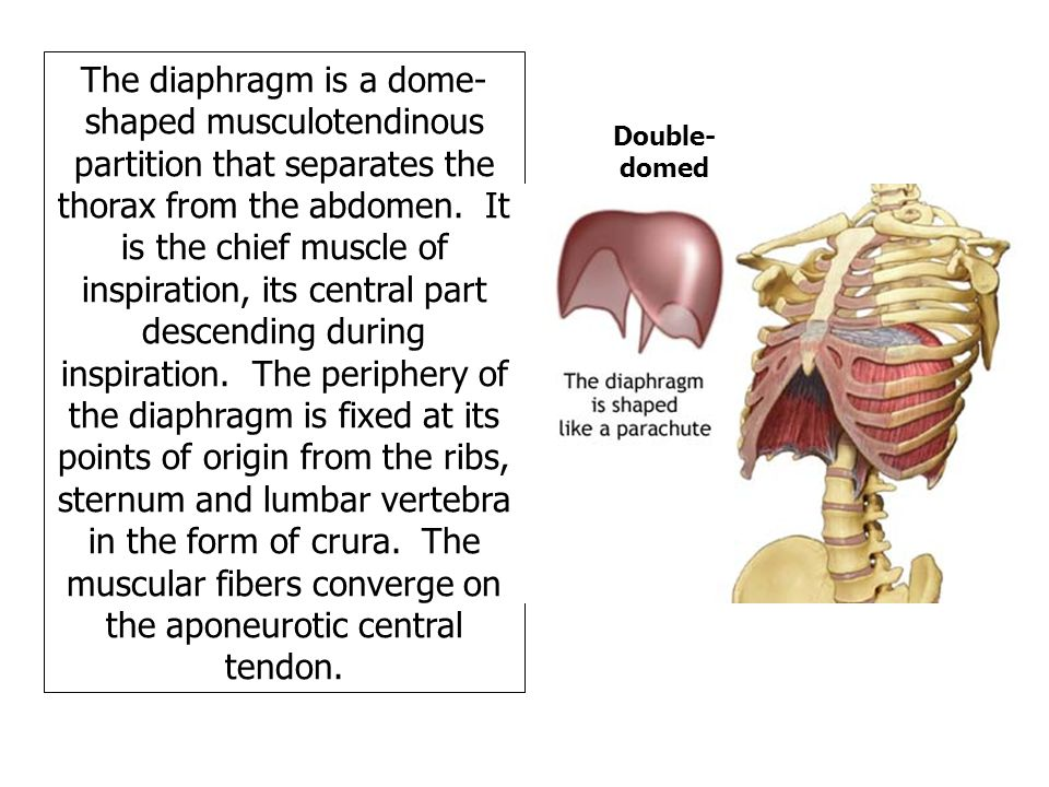 where is the diaphragm