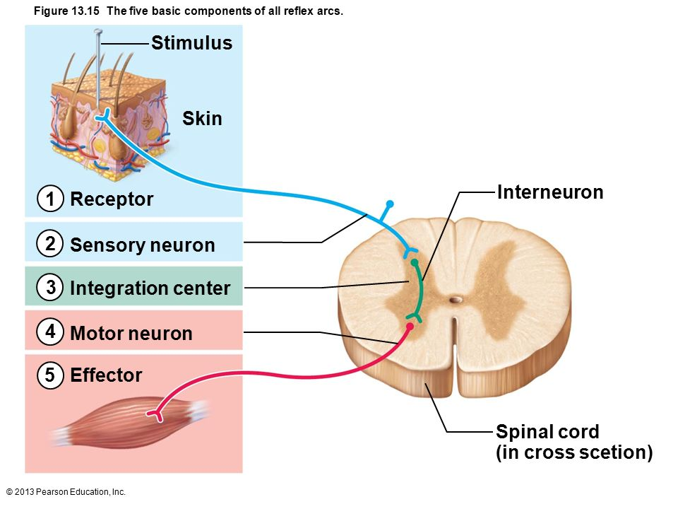 13 The Peripheral Nervous System and Reflex Activity: Part A. - ppt ...