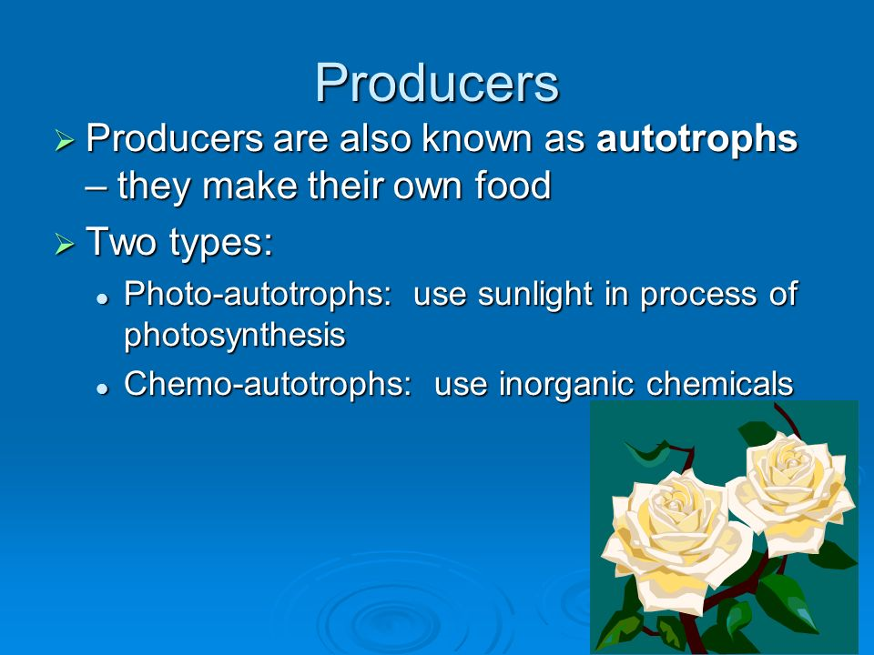 Producers Producers are also known as autotrophs – they make their own food. Two types:
