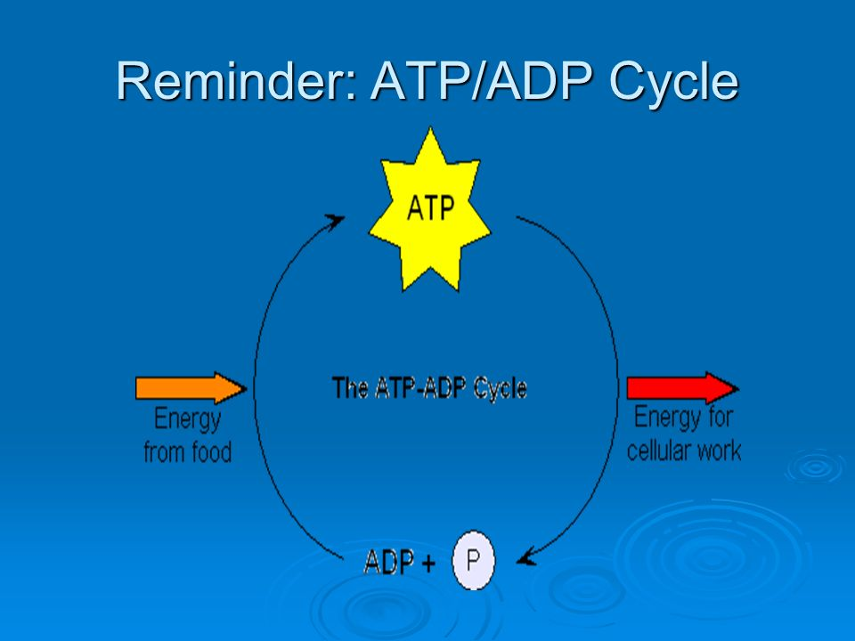 Reminder: ATP/ADP Cycle