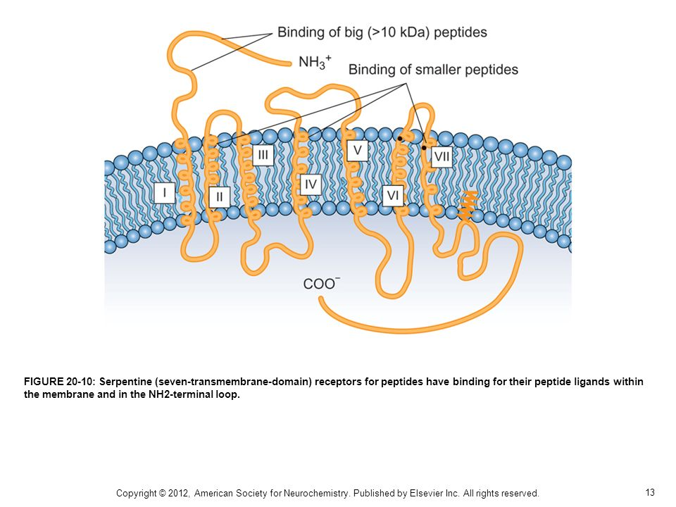 FIGURE 20-10: Serpentine (seven-transmembrane-domain) receptors for peptides have binding for their peptide ligands within the membrane and in the NH2-terminal loop.