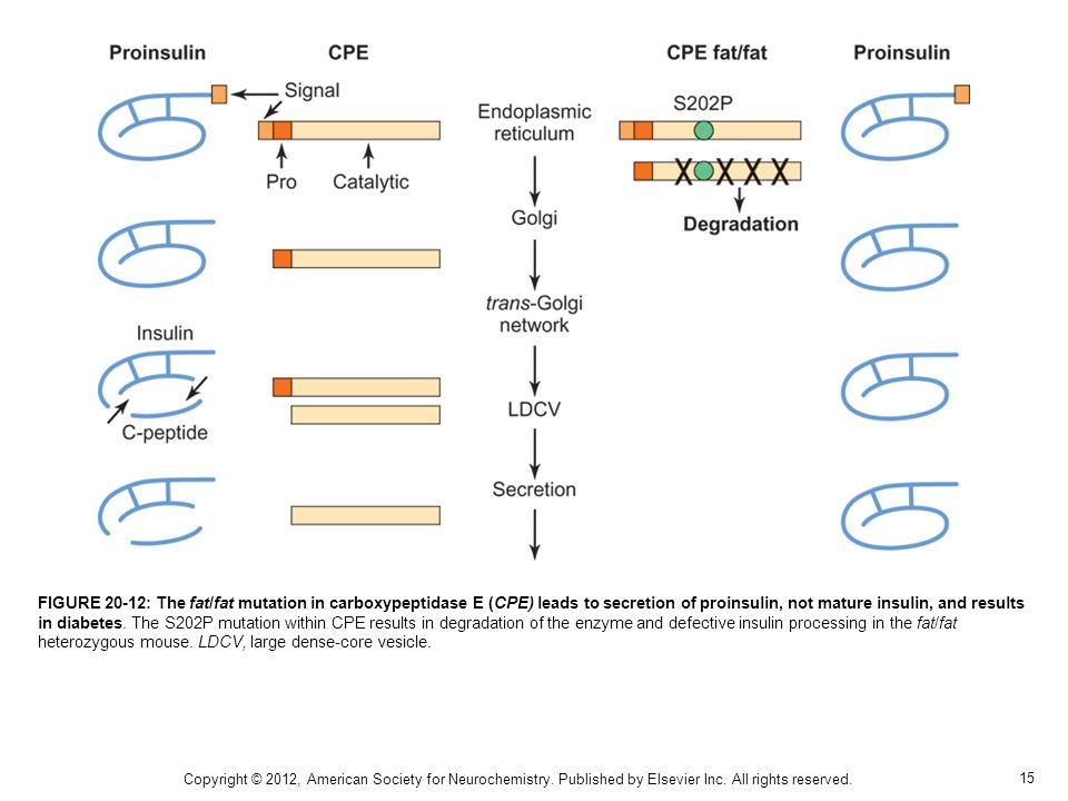 FIGURE 20-12: The fat/fat mutation in carboxypeptidase E (CPE) leads to secretion of proinsulin, not mature insulin, and results in diabetes. The S202P mutation within CPE results in degradation of the enzyme and defective insulin processing in the fat/fat heterozygous mouse. LDCV, large dense-core vesicle.