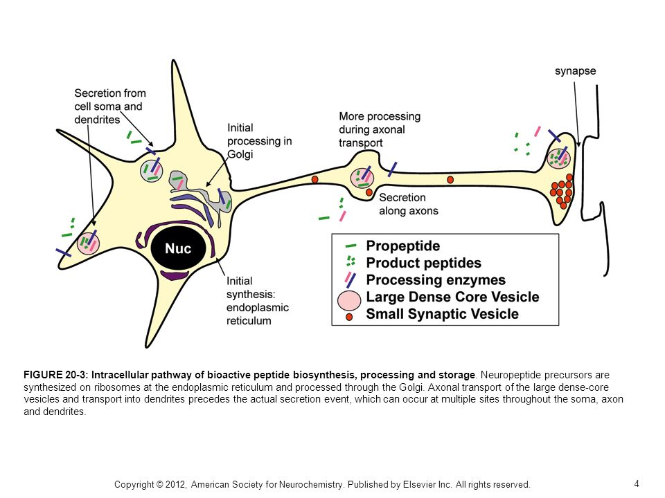 FIGURE 20-3: Intracellular pathway of bioactive peptide biosynthesis, processing and storage. Neuropeptide precursors are synthesized on ribosomes at the endoplasmic reticulum and processed through the Golgi. Axonal transport of the large dense-core vesicles and transport into dendrites precedes the actual secretion event, which can occur at multiple sites throughout the soma, axon and dendrites.