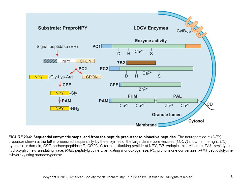 FIGURE 20-6: Sequential enzymatic steps lead from the peptide precursor to bioactive peptides. The neuropeptide Y (NPY) precursor shown at the left is processed sequentially by the enzymes of the large dense-core vesicles (LDCV) shown at the right. CD, cytoplasmic domain; CPE, carboxypeptidase E; CPON, C-terminal flanking peptide of NPY; ER, endoplasmic reticulum; PAL, peptidyl-α-hydroxyglycine α-amidating lyase; PAM, peptidylglycine α-amidating monooxygenase; PC, prohormone convertase; PHM, peptidylglycine α-hydroxylating monooxygenase.