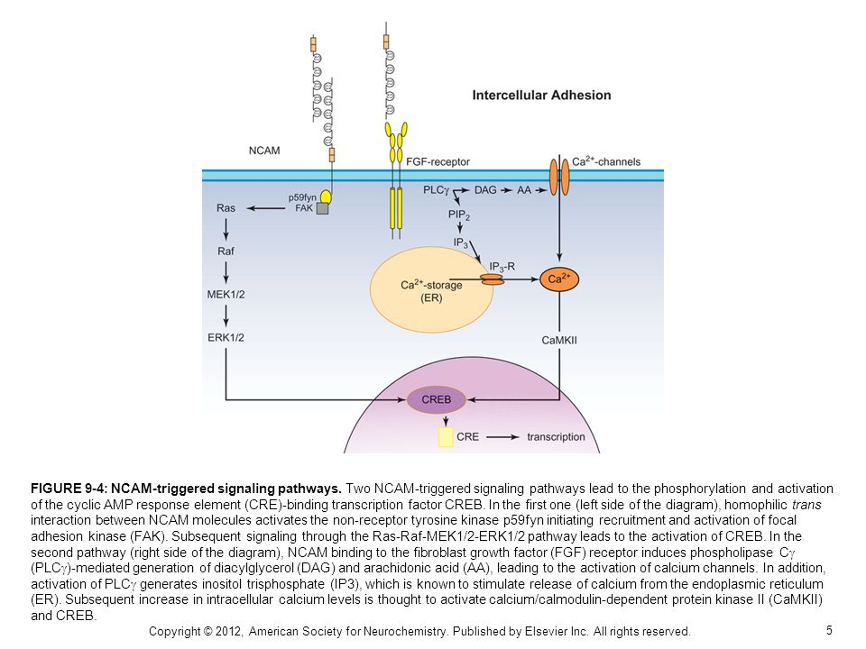 FIGURE 9-4: NCAM-triggered signaling pathways