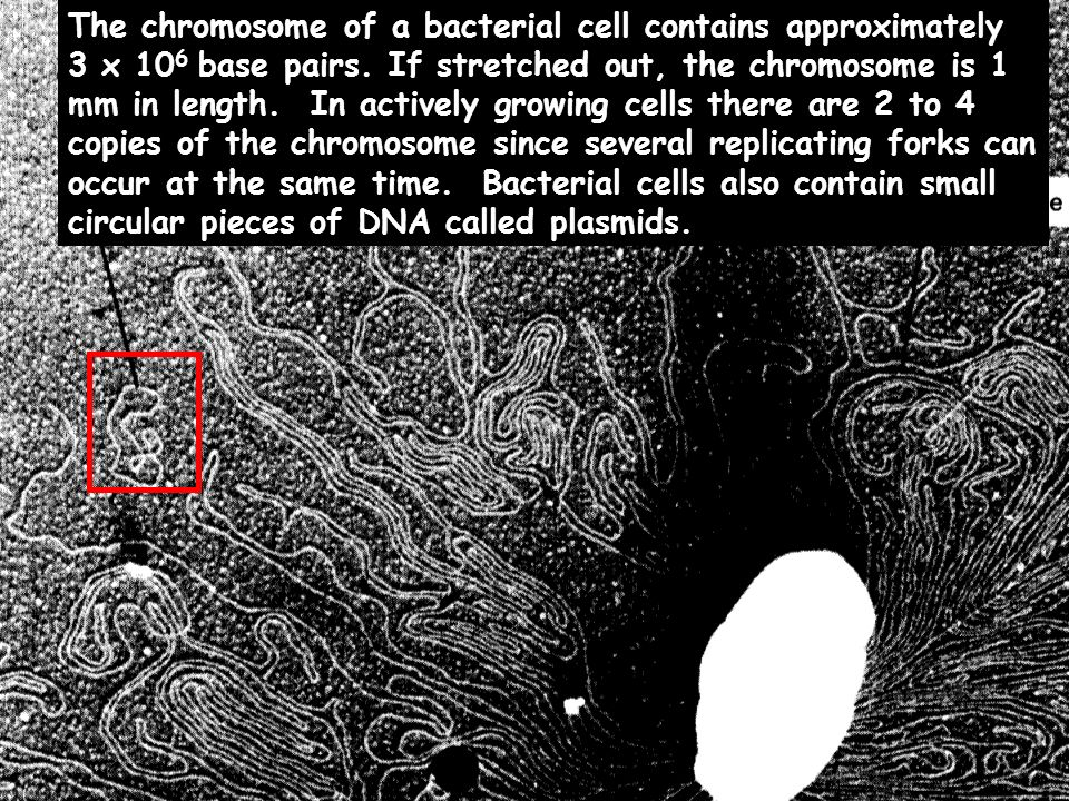 The chromosome of a bacterial cell contains approximately 3 x 106 base pairs.