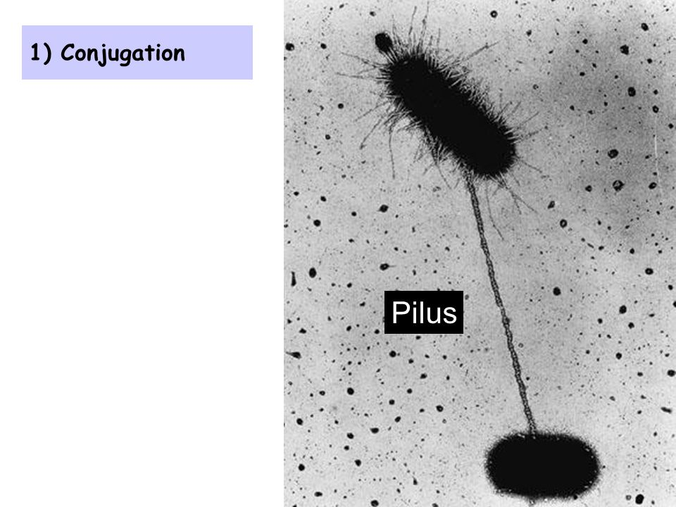 1) Conjugation Pilus