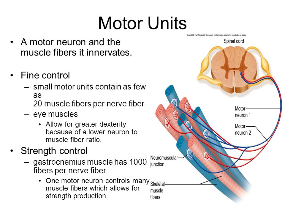 introduction to muscle ppt downloadmotor unit skeletal fibers diagram #16
