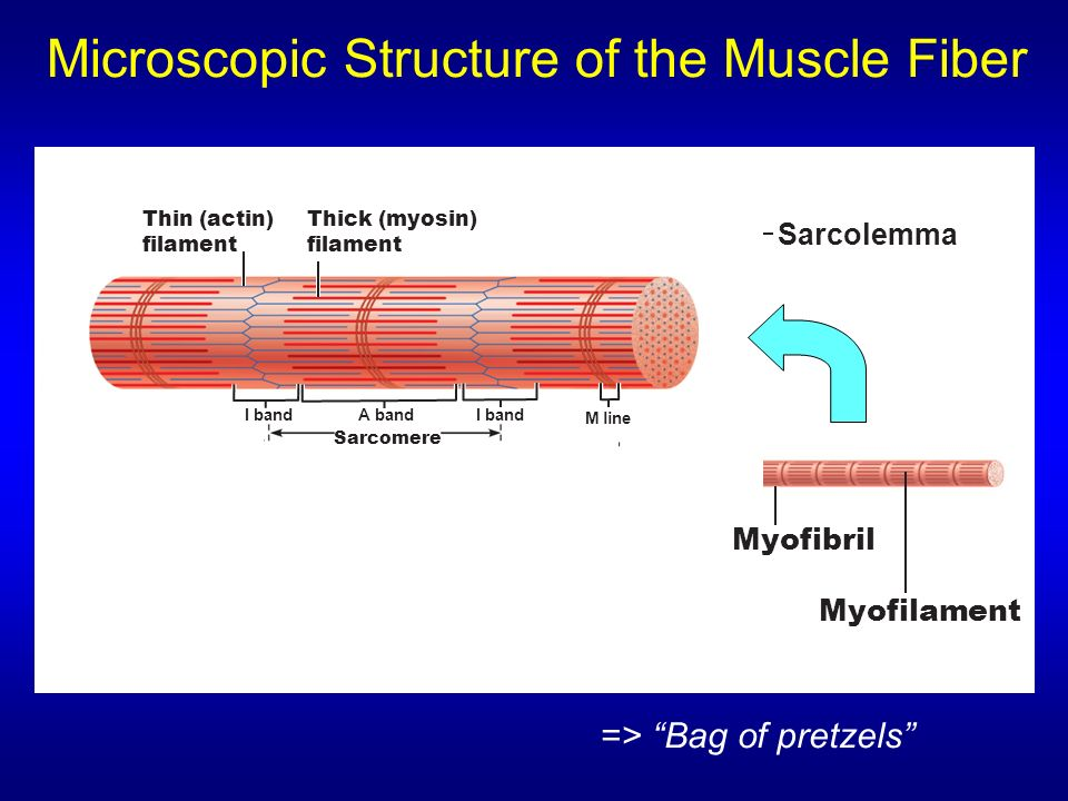 Microscopic Structure Of The Muscle Fiber