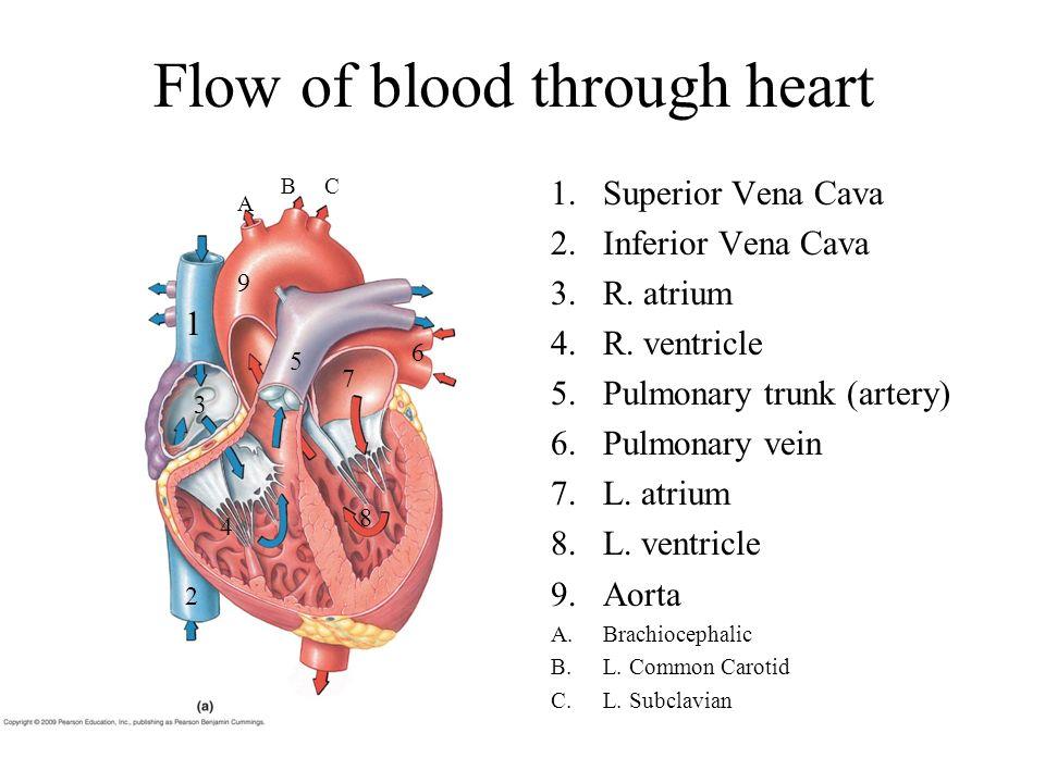 Flow of blood through heart