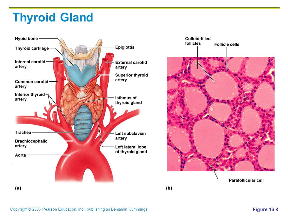 Thyroid Gland The Largest Endocrine Gland Located In The Anterior