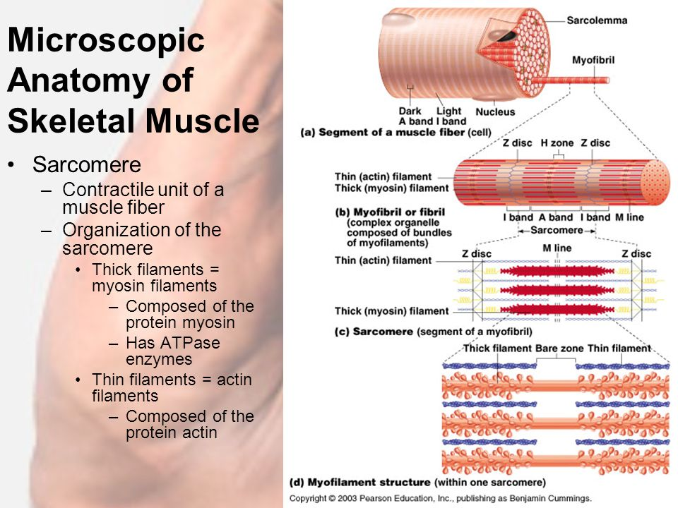 Anatomy Of Skeletal Muscle Fiber Image collections - human body anatomy