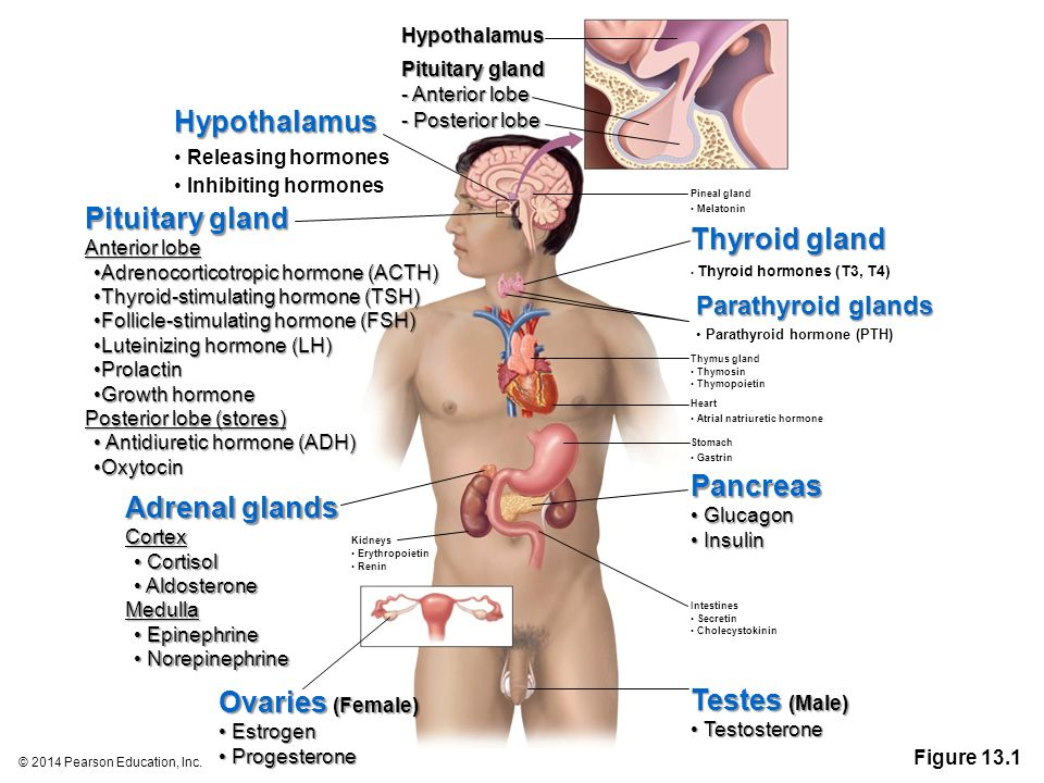 13 The Endocrine System ppt download
