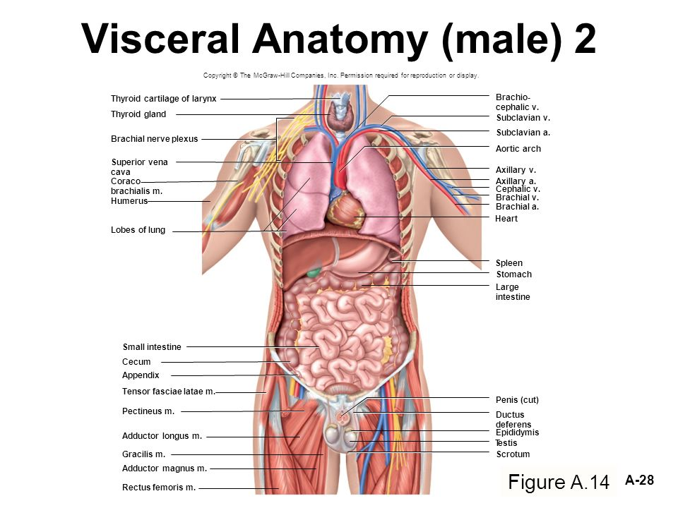 Beautiful Visceral In Anatomy Photos - Anatomy And Physiology ...