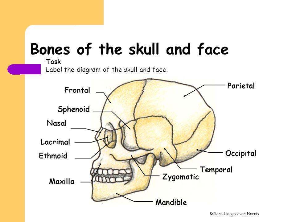 Bones Of The Skull And Shoulder Girdle Ppt Video Online Download