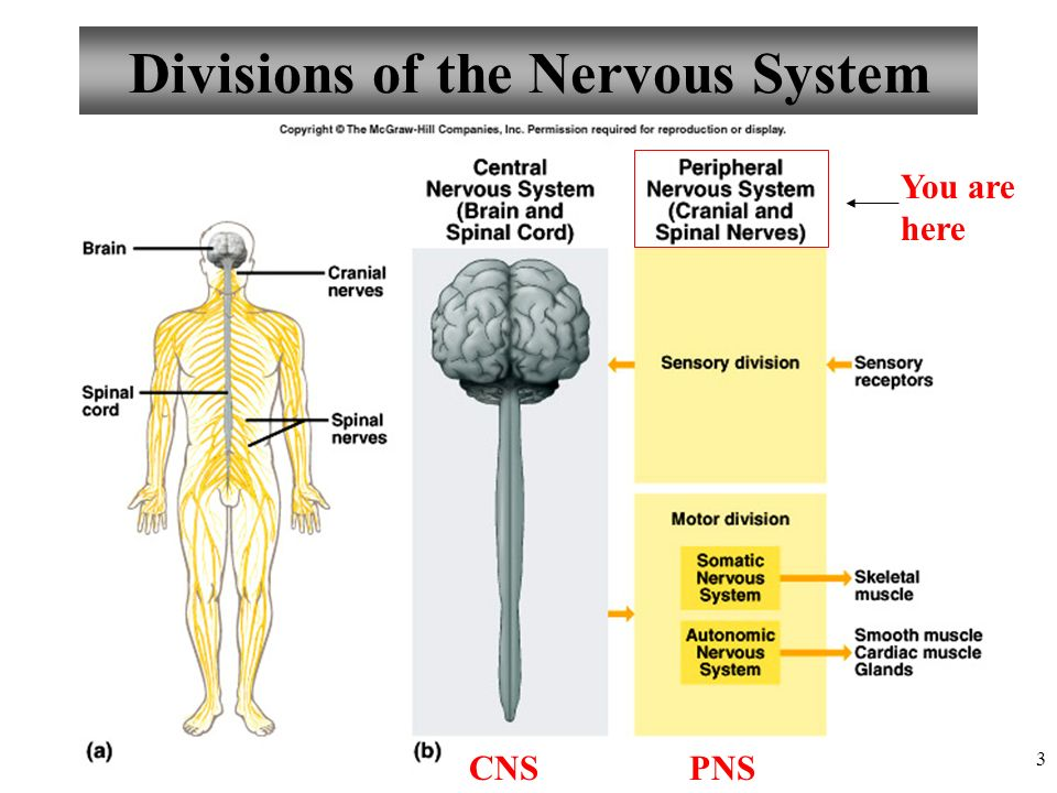 Anatomy and Physiology Peripheral Nervous System - ppt video online ...