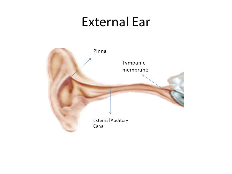 The Ear Ppt Video Online Download