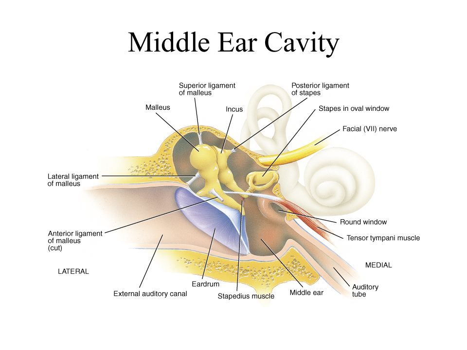 Anatomy of the ear region ppt video online download 3 middle ear cavity ccuart Images