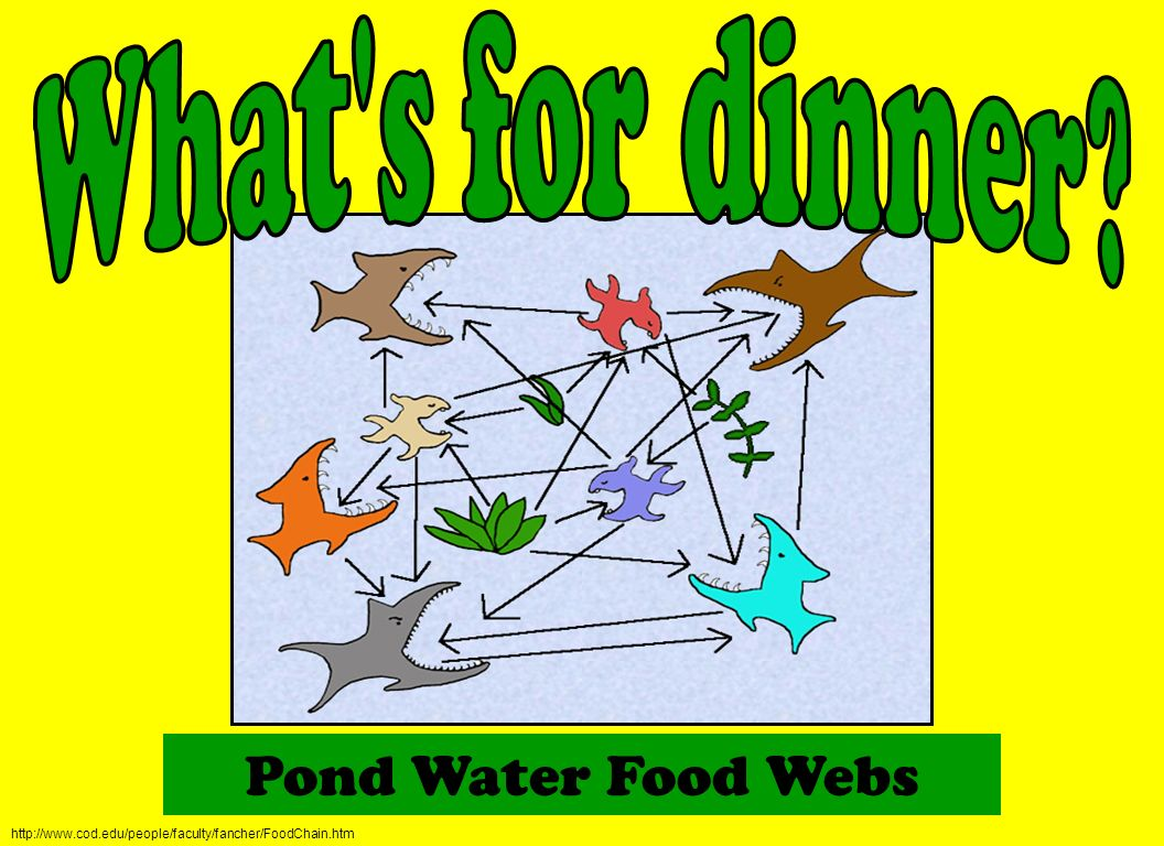 Pond Water Food Webs What s for dinner