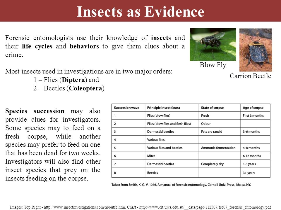 Insects as Evidence Forensic entomologists use their knowledge of insects and their life cycles and behaviors to give them clues about a crime.